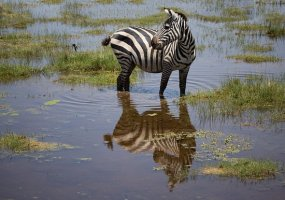 zebra-enjoying-swamp